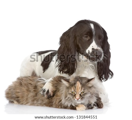 English Cocker Spaniel dog embraces a cat. looking away. isolated on white background