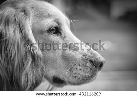 English cocker spaniel dog portrait black and white - stock photo