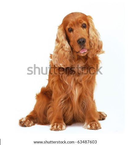 English cocker spaniel dog sit  on isolated white background - stock photo