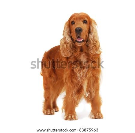 English Cocker Spaniel dog stand on isolated white background in the studio - stock photo