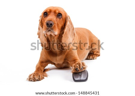 English cocker spaniel dog using computer mouse carefully, isolated on white background.