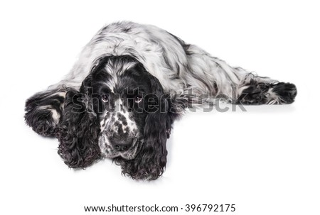 English cocker spaniel dog with long ears lying on white - stock photo