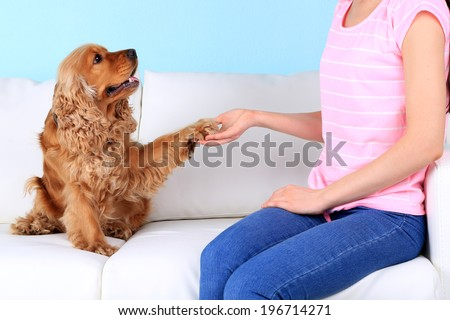 English cocker spaniel gives paw for owner - stock photo