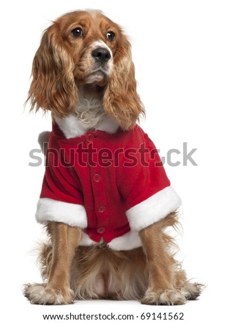 English Cocker Spaniel in Santa outfit, 10 months old, sitting in front of white background - stock photo