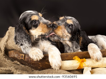 English cocker spaniel, kiss - stock photo