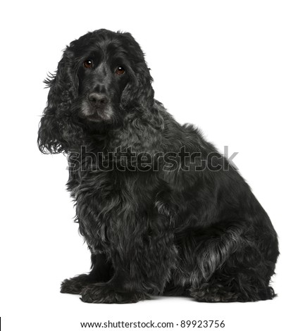 English Cocker Spaniel, 17 months old, sitting in front of white background - stock photo