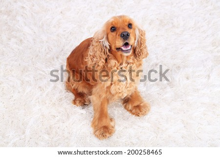 English cocker spaniel on carpet in room - stock photo