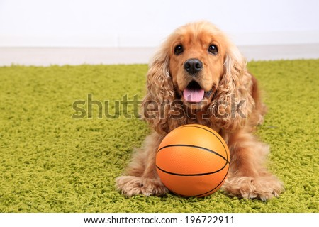 English cocker spaniel on carpet with ball in room - stock photo
