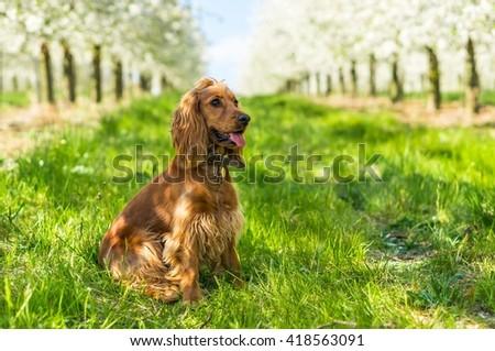 English cocker spaniel on green grass in the fruit garden - stock photo