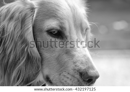 English cocker spaniel portrait black and white - stock photo