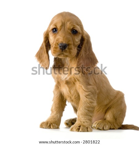 English Cocker Spaniel puppy in front of a white background - stock photo