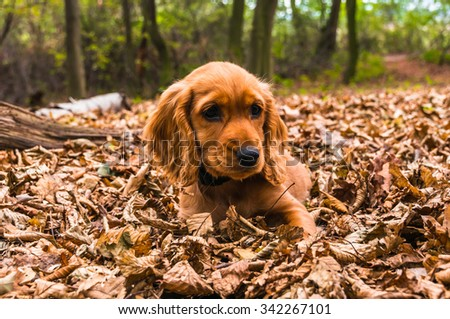 English cocker spaniel puppy lying on the fallen leaves in autumn forest - stock photo