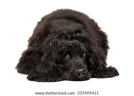 English Cocker Spaniel puppy, 5 months old, laying over the white background; isolated - stock photo