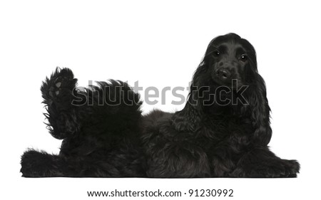 English Cocker Spaniel puppy, 5 months old, lying in front of white background - stock photo