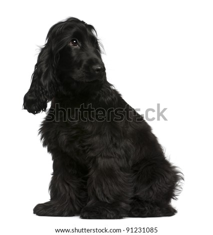 English Cocker Spaniel puppy, 5 months old, sitting in front of white background