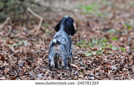 english cocker spaniel puppy outside in the autumn leaves - stock photo