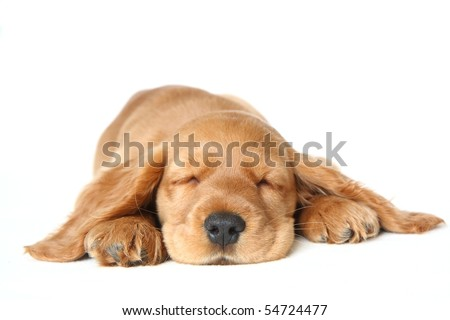 English Cocker Spaniel puppy sleeping in front of a white background - stock photo
