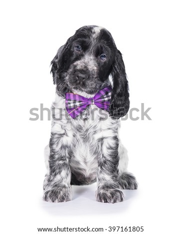 English cocker spaniel puppy with a bow tie sitting isolated on white - stock photo