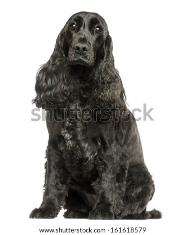English Cocker Spaniel sitting, looking at the camera, isolated on white