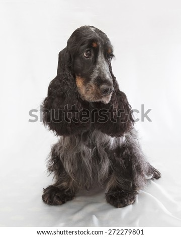 English Cocker Spaniel. Two years old. - stock photo