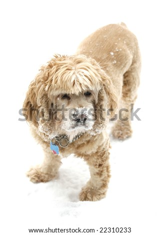 english cocker spaniel with snowy face
