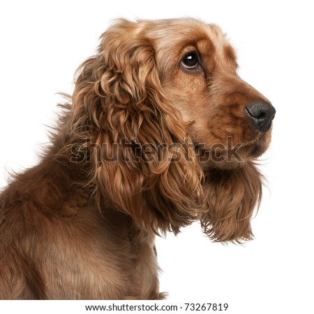 English Cocker Spaniel, 2 years old, in front of white background - stock photo
