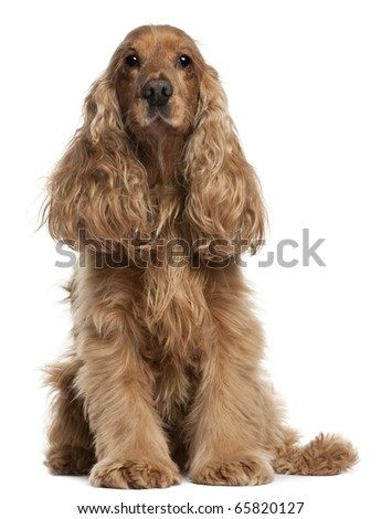English Cocker Spaniel, 9 years old, sitting in front of white background - stock photo