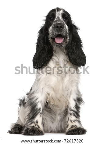 English Cocker Spaniel, 2 years old, sitting in front of white background - stock photo