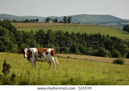 English Cow - stock photo