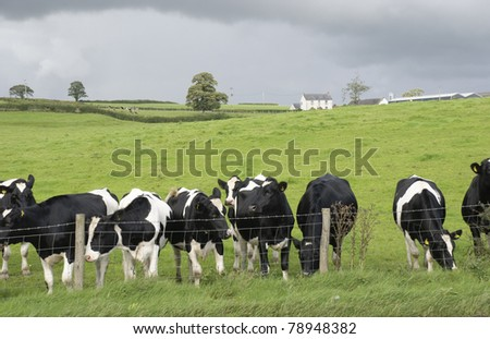 English dairy farm black and white cows - stock photo