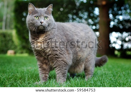 English gray breed cat