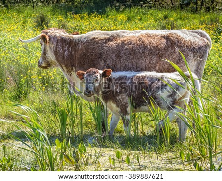 English Long Horned Cattle - stock photo