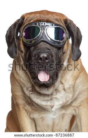 English Mastiff dog in Vintage Motorcycle Goggles. Portrait on a white background