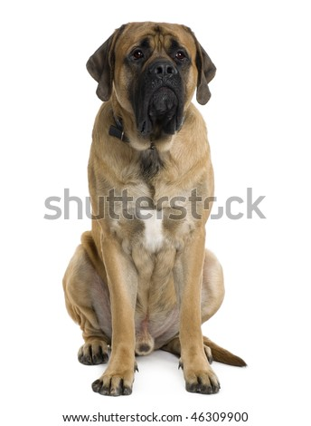 English Mastiff dog, 2 months old, sitting in front of white background - stock photo