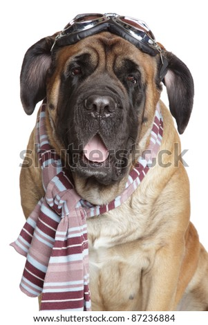 English Mastiff dog with Vintage Motorcycle Goggles glasses and scarf on a white background