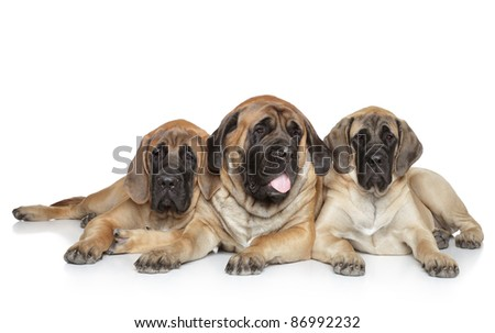English Mastiff dogs lying on a white background