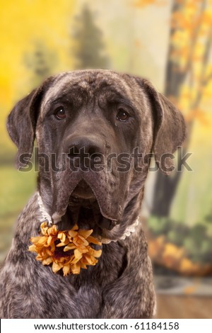 English Mastiff dressed up for the fall - stock photo
