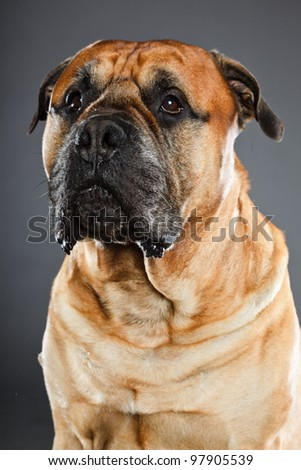 English mastiff isolated on grey background