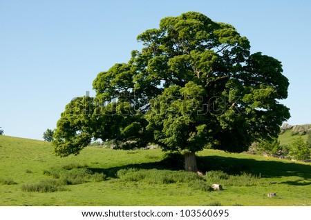 English Oak - stock photo