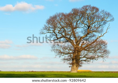 english oak stands proud in countryside
