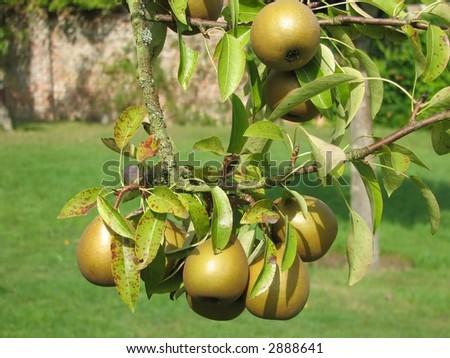 English Pear Tree - stock photo