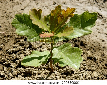 English (pedunculate) oak tree sapling five-six weeks from germination with second flush of leaves - stock photo