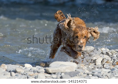 English puppy cocker spaniel while running in the river and looking at you - stock photo