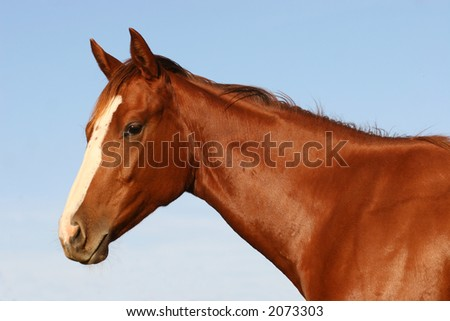 english purebred race horse portrait - colt - stock photo