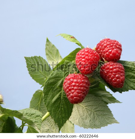 English raspberries growing in the summer sunshine - stock photo