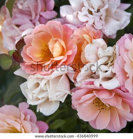English Rose,Evelyn - stock photo