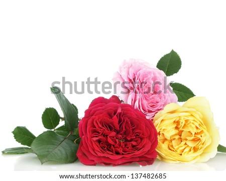 english roses on white background - stock photo