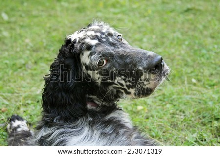 English setter - stock photo