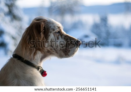English setter in profile with winter background - stock photo
