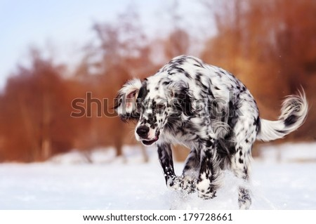 English Setter on a winter walk - stock photo